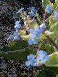 Brunnera macrophylla Th_brunnera6
