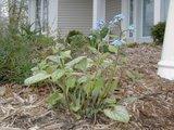 Brunnera macrophylla Th_brunneraJackfrost