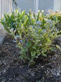 Brunnera macrophylla Th_brunneracaucase