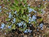 Brunnera macrophylla Th_brunneramyosotis2