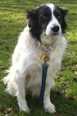 Lonely older male collie - COOPER - Brighton RSPCA Cooperfrontpage_zps85207fe6