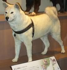 Chú chó huyền thoại Hachiko (Akita Dog) 677059