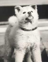 Chú chó huyền thoại Hachiko (Akita Dog) Hachiko