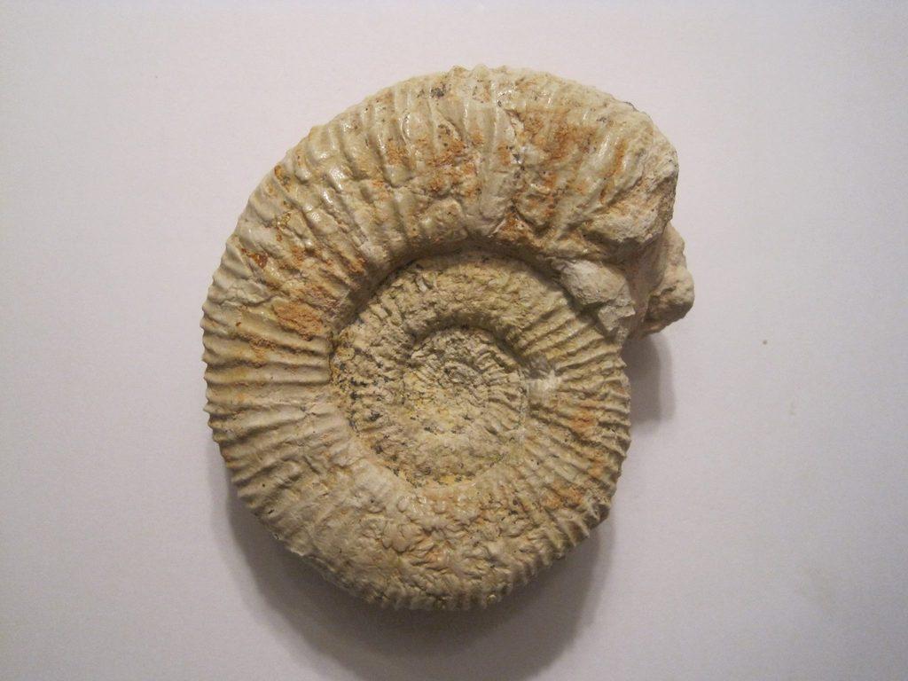 Micracanthoceras (Corongoceras) flexuosum 10945702_698449706966348_3214930789386341008_o_zpsbv1ucnfg