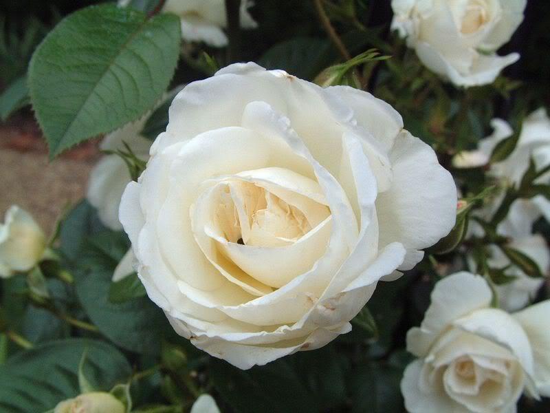 Nadji sliku! - Page 3 White_rose