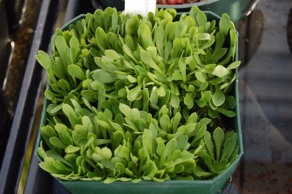 My flowering Stylidium debile DSC_00450001-1