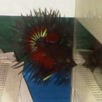 Betta King Crowntail Black Dragon 301735_429405657072405_100000089238208_1710351_52053444_n_zpsf74a53f3