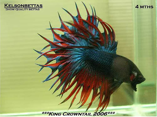 Betta King Crowntail Black Dragon 834535949_ab56312937