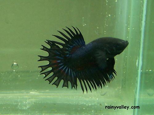 Betta King Crowntail Black Dragon RV100B3000_zpse75005da