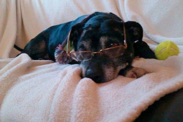 Thelma - 10yr old Staffy girl - dog and cat friendly! - Senior Staffy Club - Tamworth area 484946_581449061867366_1832787798_n_zpsad5662da