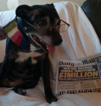 Thelma - 10yr old Staffy girl - dog and cat friendly! - Senior Staffy Club - Tamworth area 549454_577465032265769_381980_n_zps3caf15f4