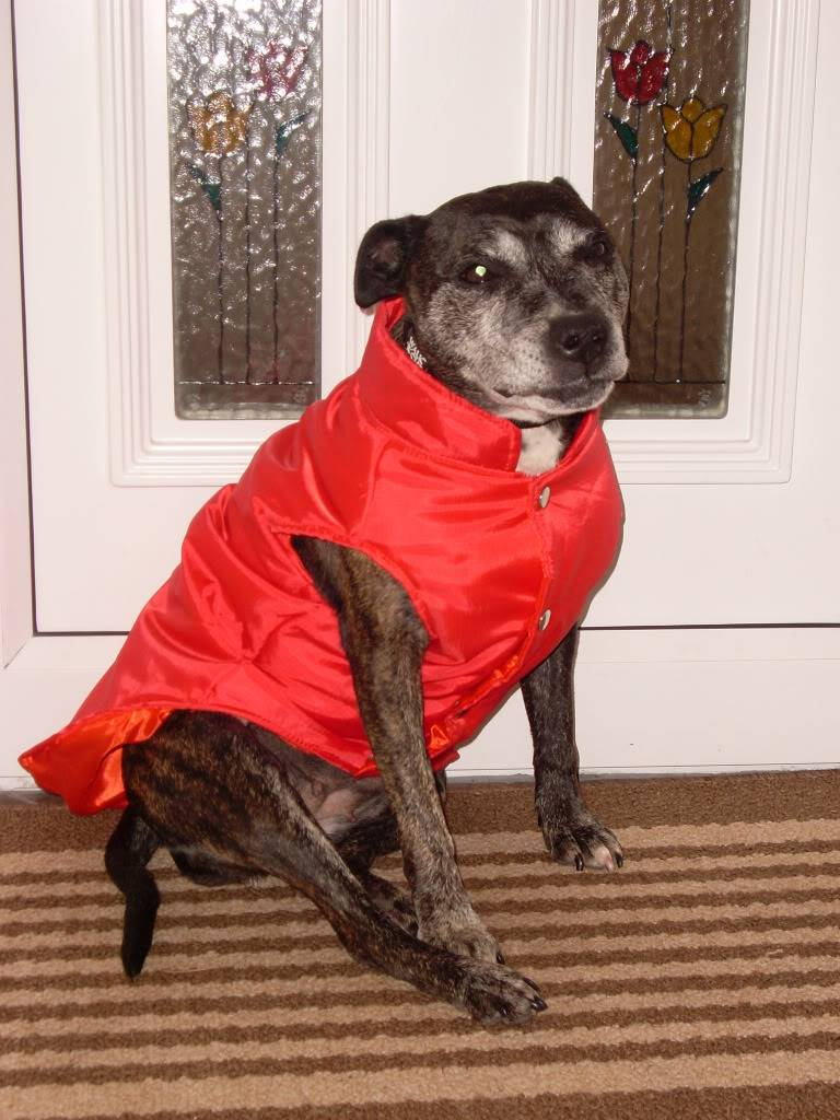 Madge - Older Staffy lady needs a quiet home - Page 2 SL373326