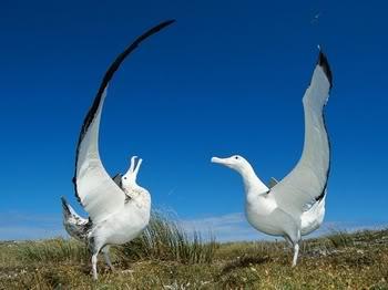 Sve vrste Ptica - Page 7 Albatros-new-zeland-t