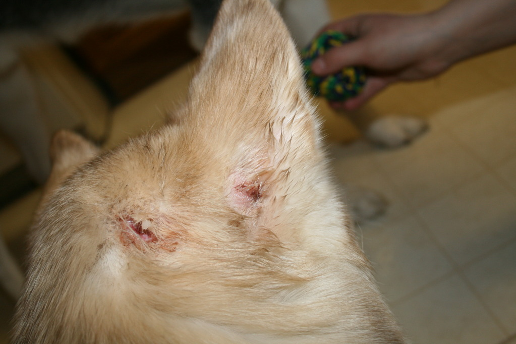 Zoey's puncture wounds.. IMG_5664