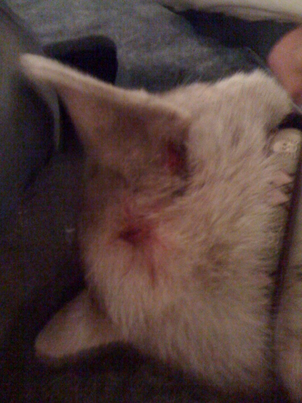 Zoey's puncture wounds.. Photo3-7
