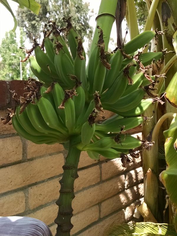 bananas Bananas