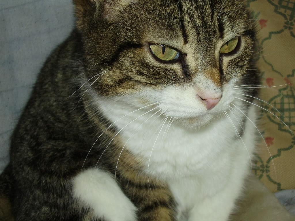 ANIA gatina de 8 meses en adopción – CF (Asturias) P2020142