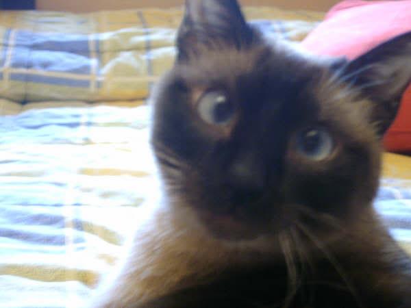 Cinco gatines víctimas del abandono – CF ASTURIAS Deysi2