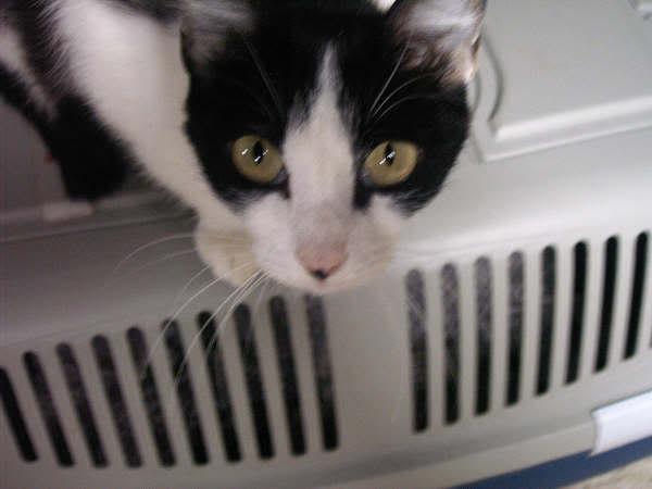 Cinco gatines víctimas del abandono – CF ASTURIAS Nerina2