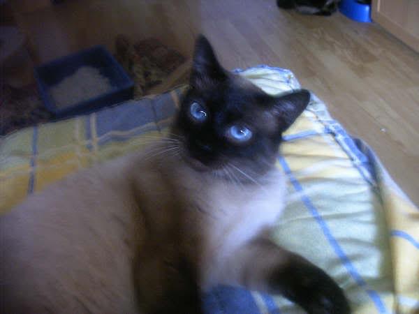 Cinco gatines víctimas del abandono – CF ASTURIAS Pancho4