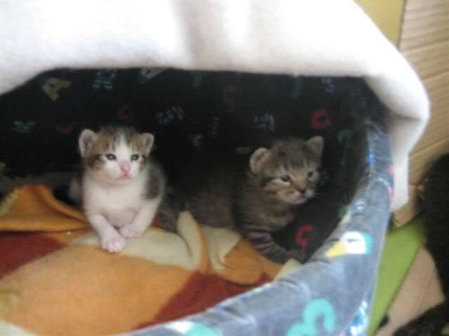Marga, una gatina que te llegará al corazón – CF ASTURIAS IMG_9520