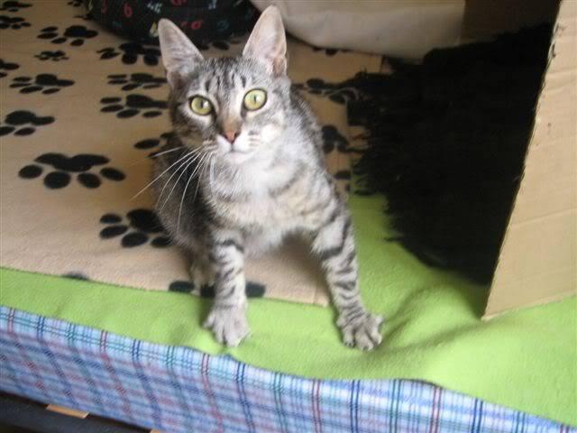 Marga, una gatina que te llegará al corazón – CF ASTURIAS IMG_9524