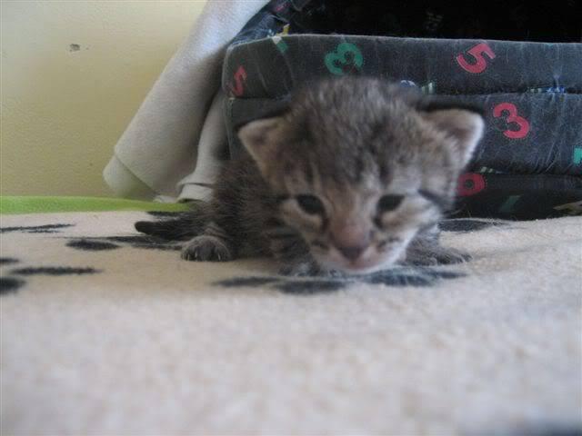 Marga, una gatina que te llegará al corazón – CF ASTURIAS IMG_9530