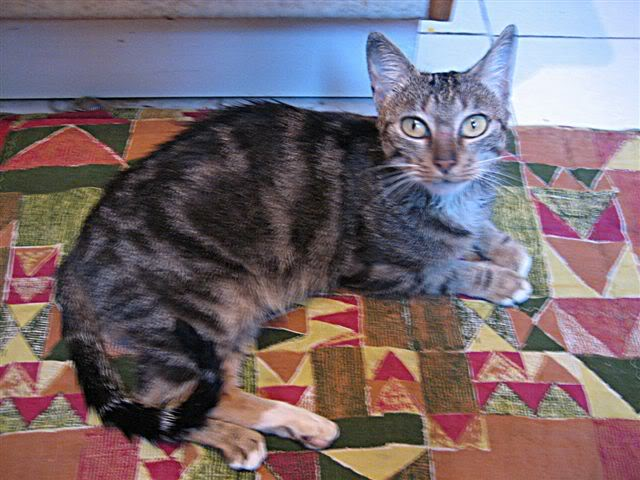 MINA, adorable gatita en adopción - CF ASTURIAS Mina_minina