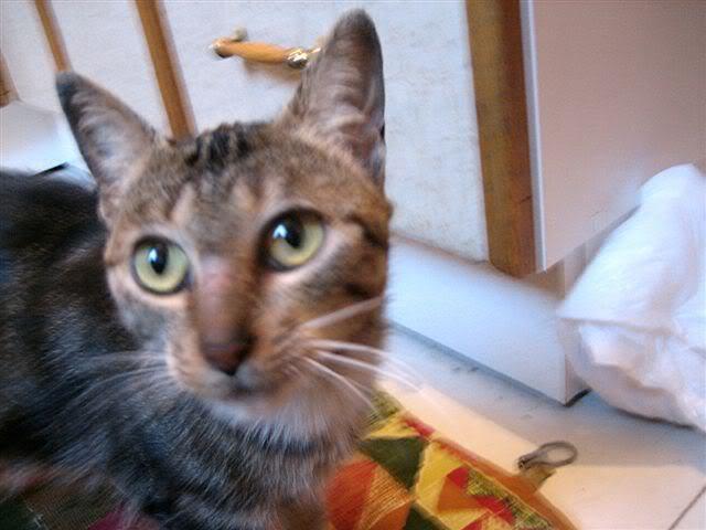 MINA, adorable gatita en adopción - CF ASTURIAS Minag