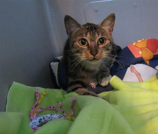 MINA, adorable gatita en adopción - CF ASTURIAS Mininina