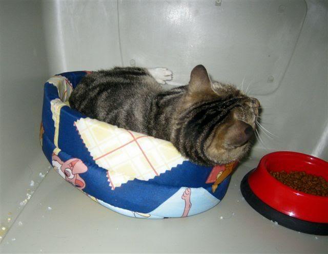 MINA, adorable gatita en adopción - CF ASTURIAS Minaposturicas2
