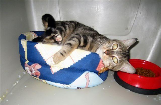 MINA, adorable gatita en adopción - CF ASTURIAS Minaposturicas4