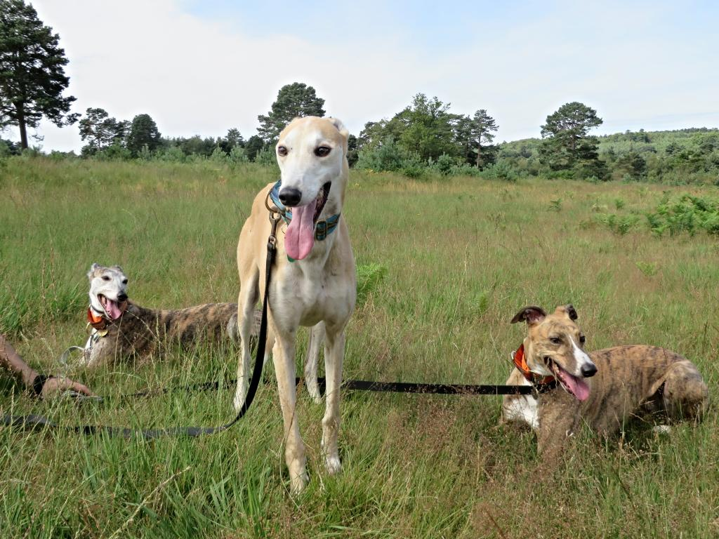 6. Best Happily Homed LSOS Hounds IMG_1740_zpsf0d9d659