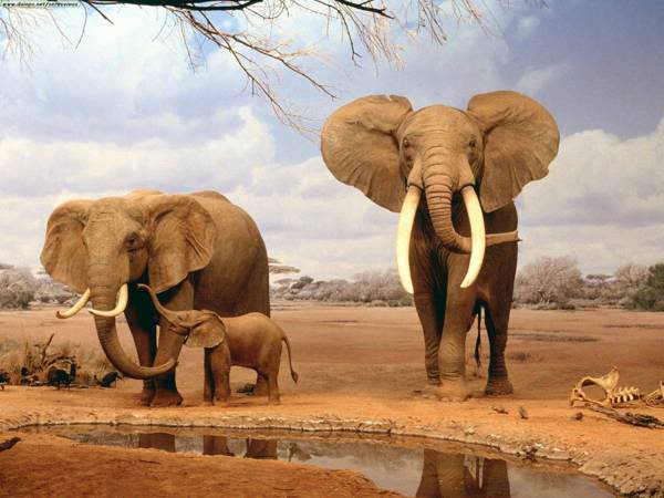 Animals Elephants
