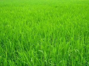 அழகான நெல் வயல்கள்2 - Page 2 773777_green_paddy_field