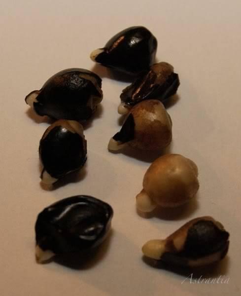 semis d'hemerocalles chez Astrantia 2009-2010 12petitspieds-border