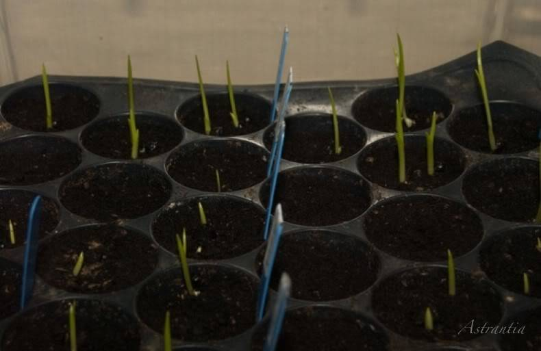 semis d'hemerocalles chez Astrantia 2009-2010 12plateau2-border