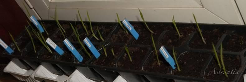 semis d'hemerocalles chez Astrantia 2009-2010 1repiqus-border