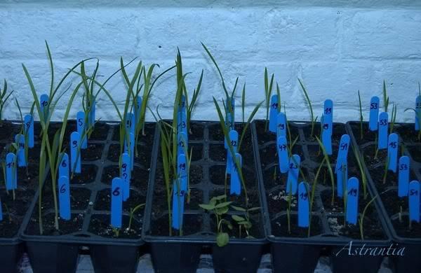 semis d'hemerocalles chez Astrantia 2009-2010 DSC_3130-border