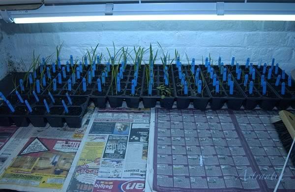 semis d'hemerocalles chez Astrantia 2009-2010 DSC_3132-border