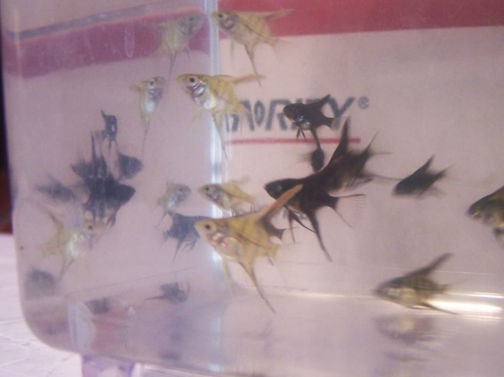 Huge batch of Angelfish babies. 000_7973