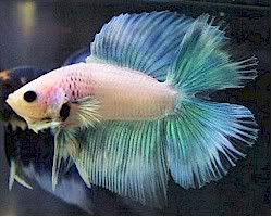 Ordering Bettas online 1a