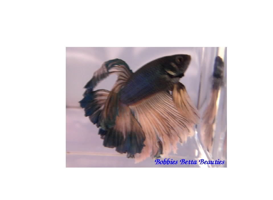 Ordering Bettas online GreenMGHMMale