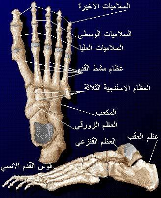 c6628292d شرح جسم الانسان بالصور لطلاب الطب 18