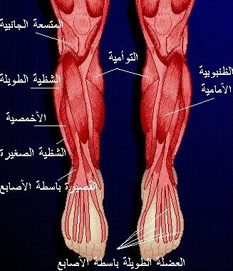 5ea520e43 شرح جسم الانسان بالصور لطلاب الطب M11