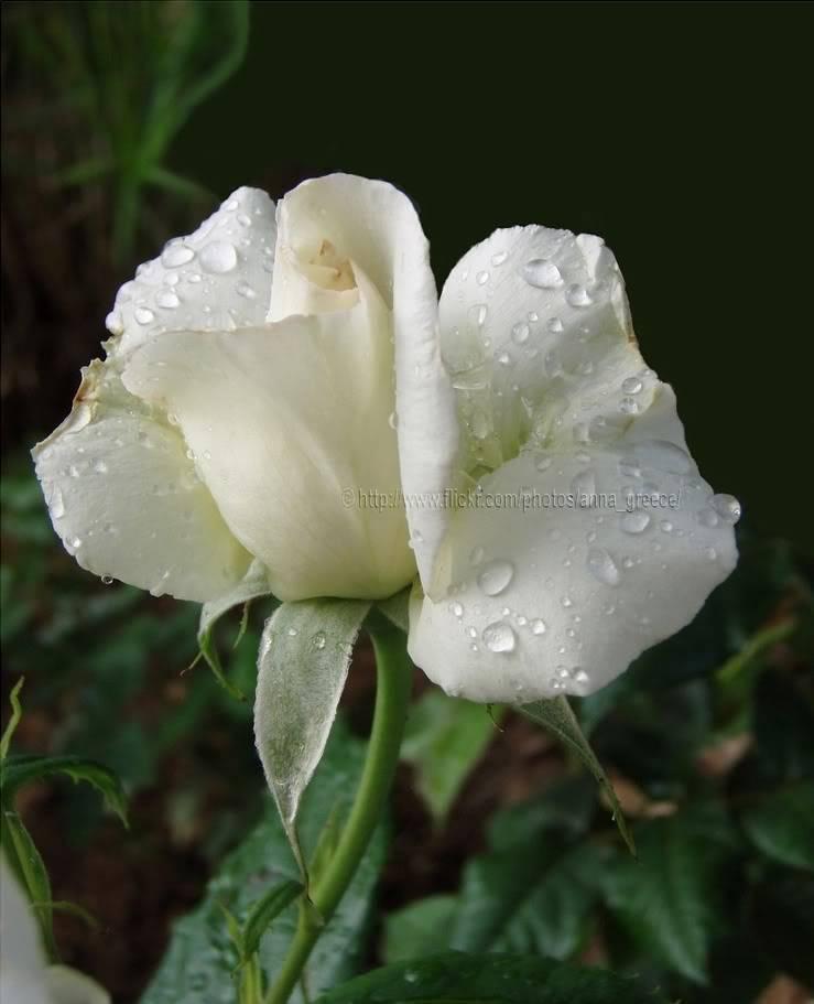 மீனு தரும்  ரோஜா மலர்கள் உங்களுக்காக... Whiterose