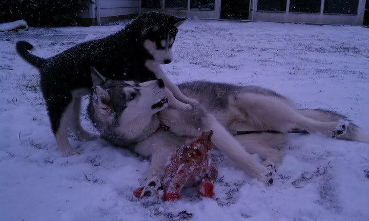Mira & Icon's 1st Snow ~~~  157073_471644143123_733943123_5856758_8333020_n