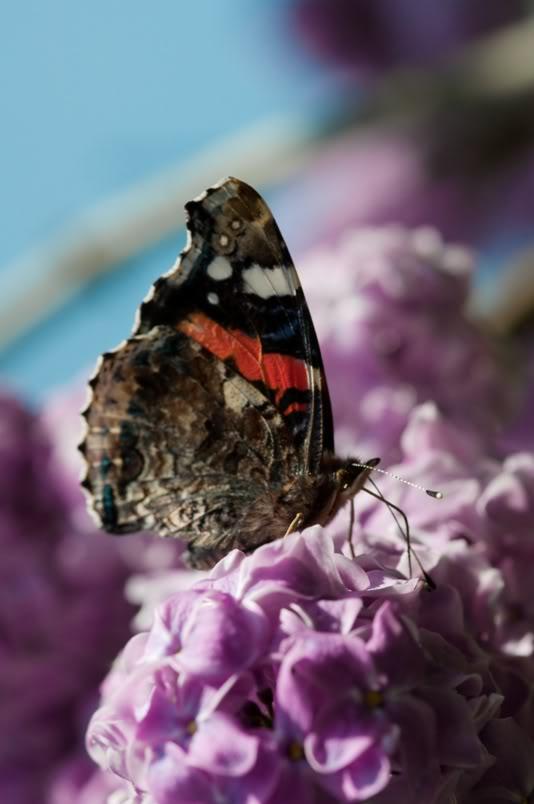 [identification] divers papillons DSC_5002