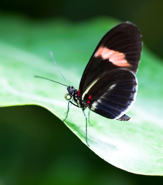 [identification] divers papillons DSC_6701