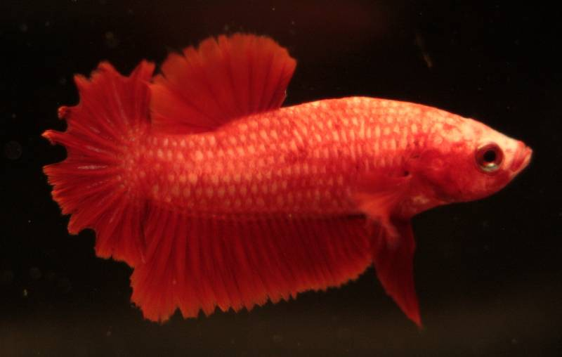 PK rouge x PK rouge Male_pk_rouge_rosetail